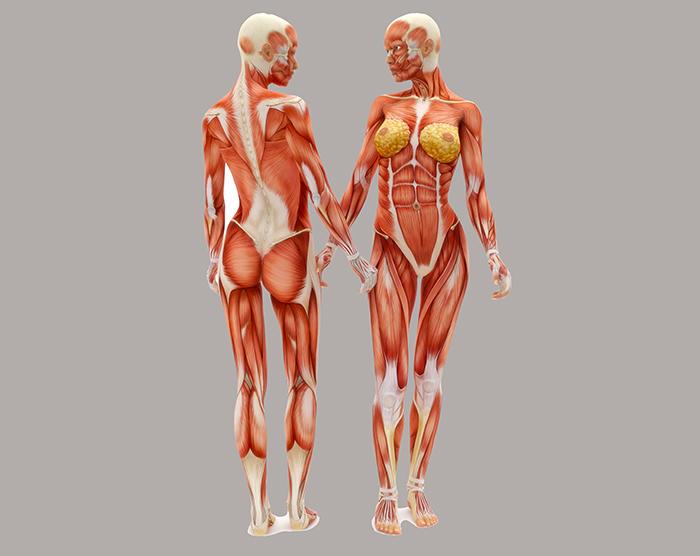 hvordan virker muskler